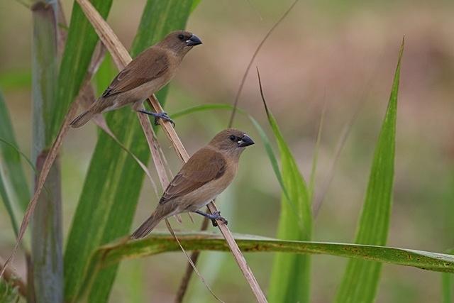 シマキンパラ幼鳥.JPG