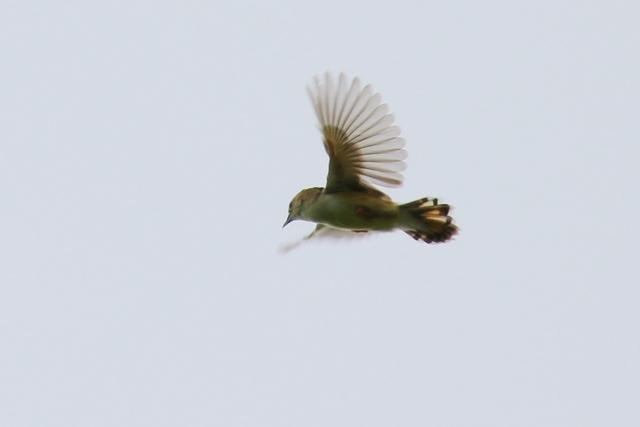 セッカ飛翔1.JPG