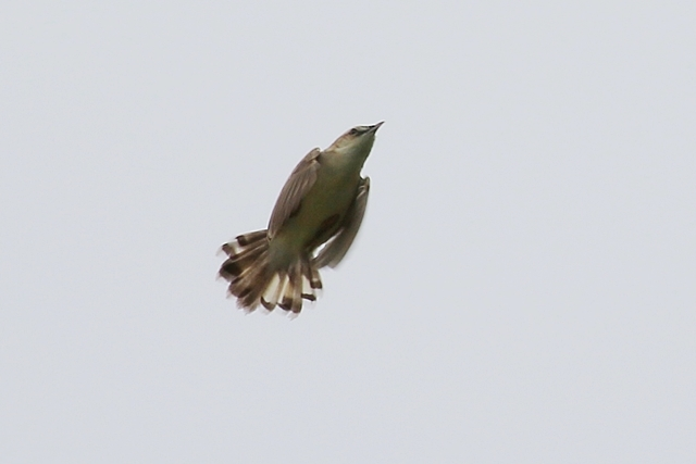 セッカ飛翔2.JPG