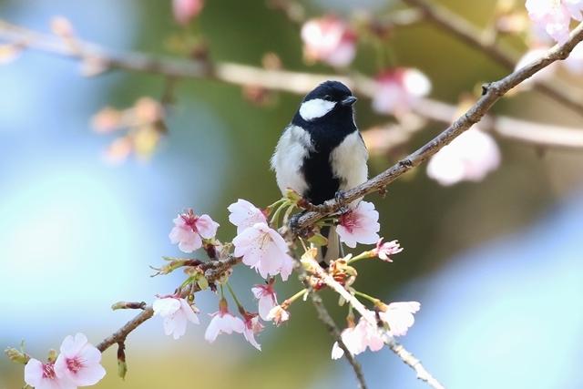大寒桜とシジュウカラ.JPG